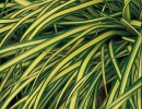 carex-evergold-sedge