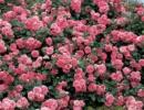 rosa-les-quatre-saison