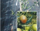 olivo-da-mensa