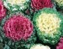 brassica-cavolo-ornamentale