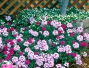 BABYLON VERBENA -- The moss verbena has become a top performer with its blooming, groundcover-like habit. The moss verbena chokes out weeds, shades and cools the root zone, and blooms profusely.