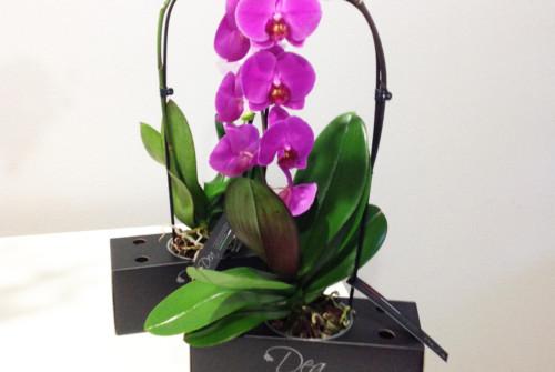 DEA l'orchidea in scatola